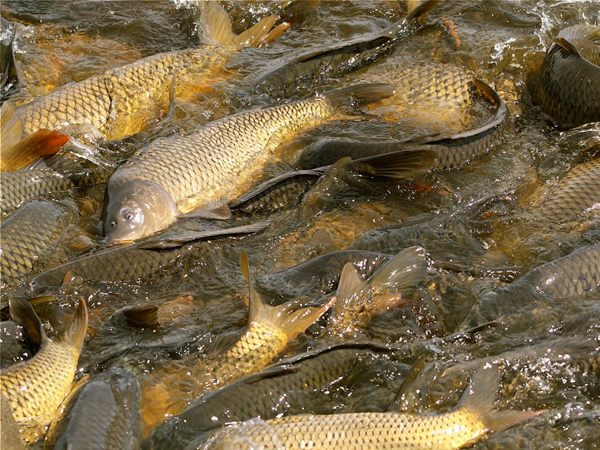 Biological weed control course fish supply fisheries for Fish pond protection