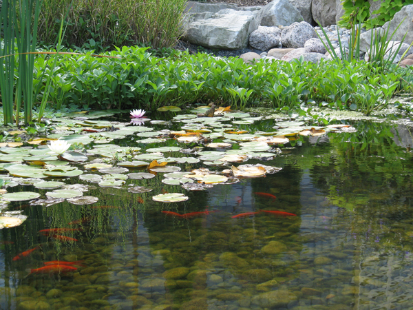Ornamental ponds uk pond maintenance fish stocks for Decorative pond fish